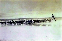Ovellas na ladeira Juan de Mariño